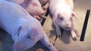 Iowa Farm Tour - How Pork is Raised