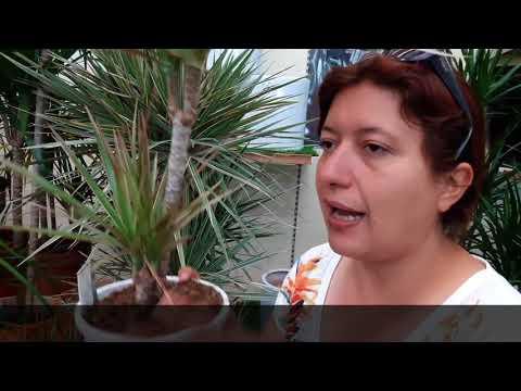 Consigli utili su come coltivare la dracena