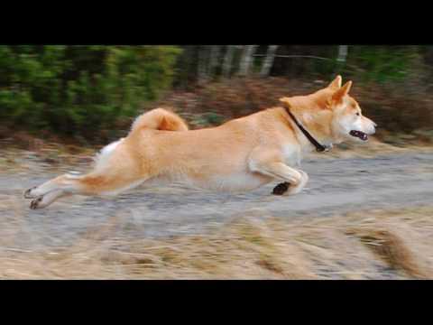 animals Shiba Inu Dog