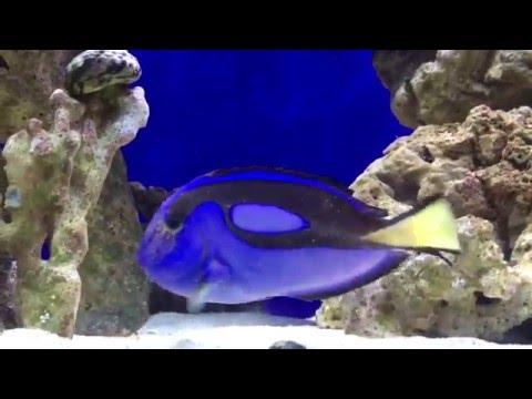 How to cure ick ich naturally Blue Hippo Tang