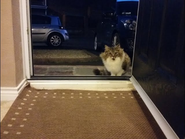 Stray Cat  Following and  Begging to be let  inside a house had a very good reason