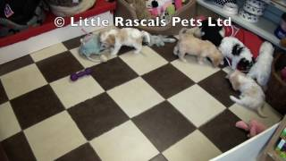 Little Rascals Uk Breeders New Litter Of Cavapoo's