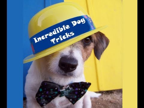 Incredible Dog Tricks Performed by Jesse the Jack Russell