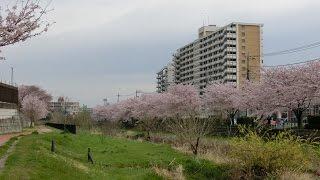 空堀川の桜  2016- 4-3 (東村山浄水場付近で)