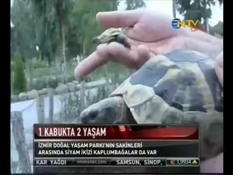 Çift Başlı Kaplumbağa