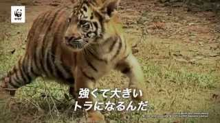 地球最大のネコ科動物、トラ。彼らは今、絶滅寸前です。 お金のための密...