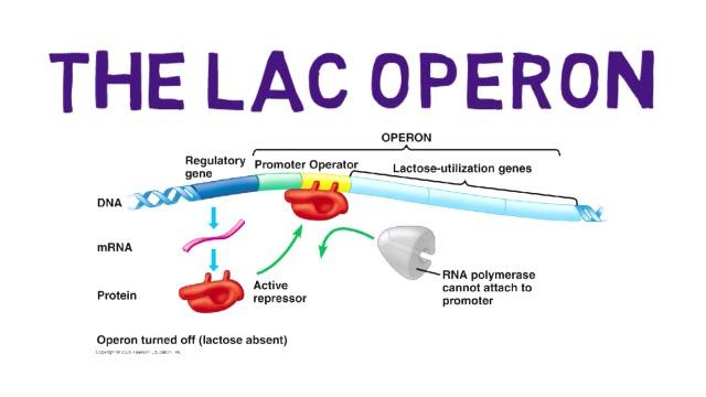 The Lac Operon Youtube