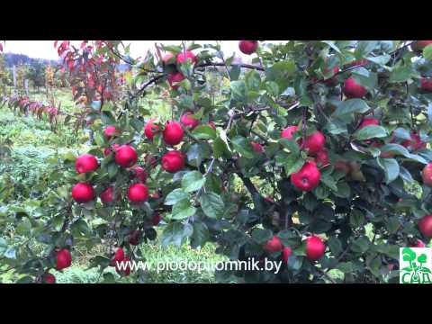 Яблоня сорт Фридом