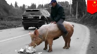 Chinese farmer ditches his horse for a pig