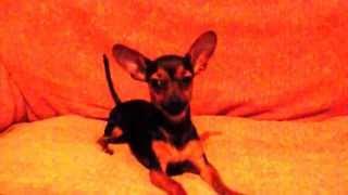 Cachorro latindo e dando Piti
