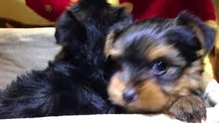 2018年3月4日撮影 ヨークシャテリア 姉妹 全国優良ブリーダーの子犬紹介...