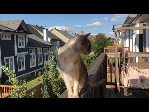 Abyssinian cat doesn't like dogs | CUTE CAT CLEO