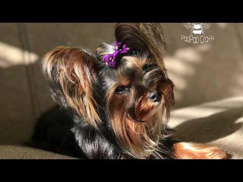 Yorkshire Terrier en cámara lenta | Yorkshire Terrier in Slow motion | Cute Puppy in Slow motion