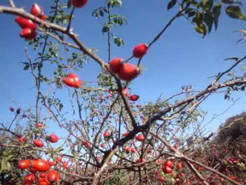 Nabiranje plodov šipka na Bolgarskem podeželju s komentarjem