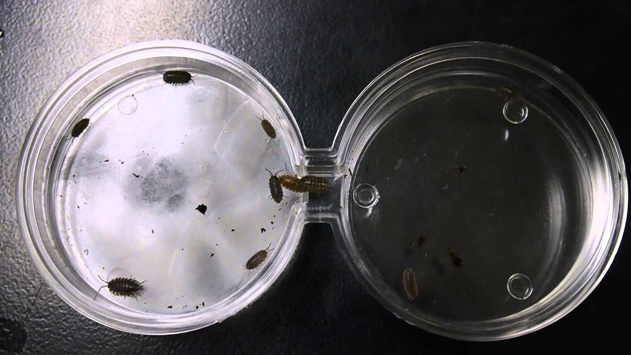 the effects of the environment on a sow bug Pillbugs and sowbugs and moist environment experiment  pillbugs are a dark gray and the sow bugs are a light  the effects of light and dark areas on a pill bug.