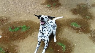 Dalmatian Puppy Play With Coconut