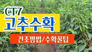 [고추농사] GT7 고추모종 고추수확 건조하기! 건조기…