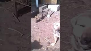 Собака Джессика. Убили собаку? Булик и Джесси. Мои собаки часть 2.