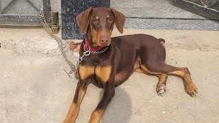 Doberman,Pitbull, German shepherd, rottweiler, American bully puppies for sale