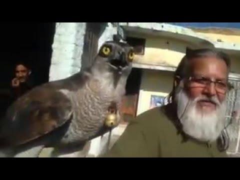 peregrine falcon in Pakistan