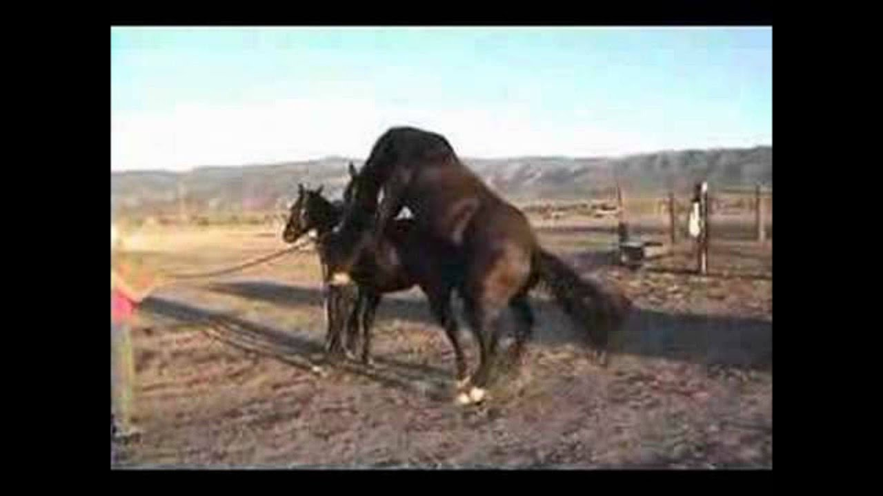 2 Male Horses Mating