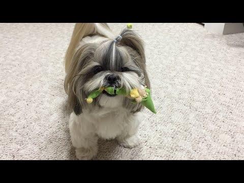 Shih Tzu dog Lacey still likes her Mr. Elf toy
