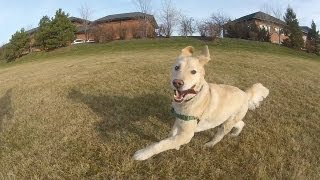 Golden Retriever Running - Izzy On Top Of The World