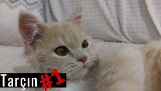 Download Tarçın Vlog #1 - Chinchilla Persian Cat Mp3 and Videos