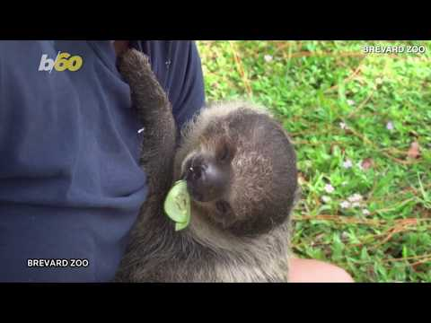 Baby Sloth At Florida Zoo Celebrates First Birthday With Some Cake!