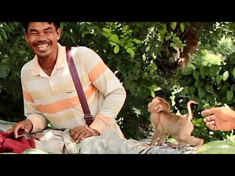 baby-boki-talking-to-seller -cutest-baby-monkey-go-to-negotiate