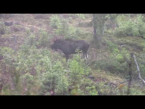 Moose hunt Norway 4 / Elg Jakt NORWEGIAN HUNTER