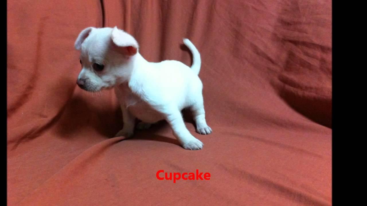 Puppies Free Chiweenie