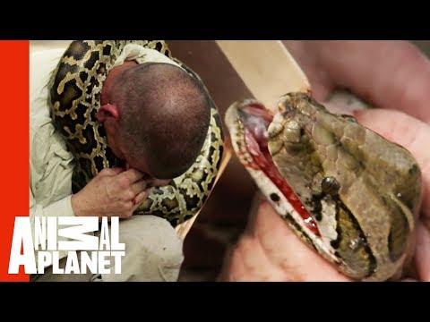 Python Latches to Handler's Face | Devoured