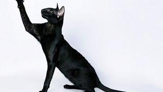 Ориентальные кошки - грациозность и шарм