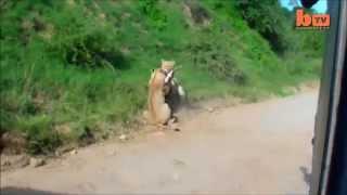 Дикие кошки львы охотятся, жесть!