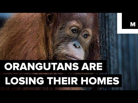 Indonesia's Orangutans Are Watching Their Rainforest Habitat Get Destroyed