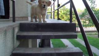 Astor (golden Retriever) Goes Down The Stairs