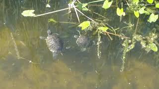 Черепахи в Москве реке