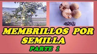 Como Reproducir Un Árbol De Membrillo Por Semillas  - 1ª PARTE