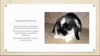 Декоративные кролики. Самые популярные породы.
