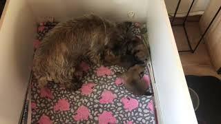 Cairn Terrier hvalpe 14 dage gl