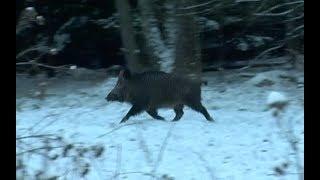 Охота на кабана и косулю. Загонная охота в Беларуси, часть-3.