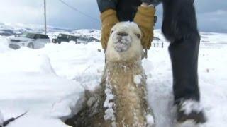İngiltere'de binlerce koyun kar altında kaldı