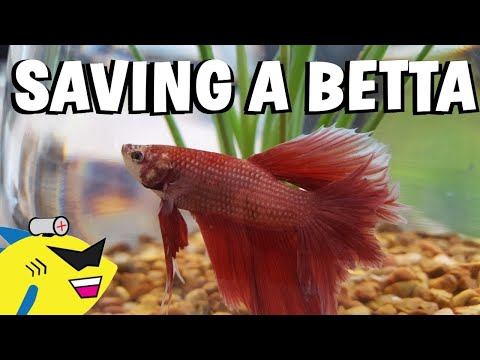 SAVING A BETTA FISH! - Proper Betta Tank Setup