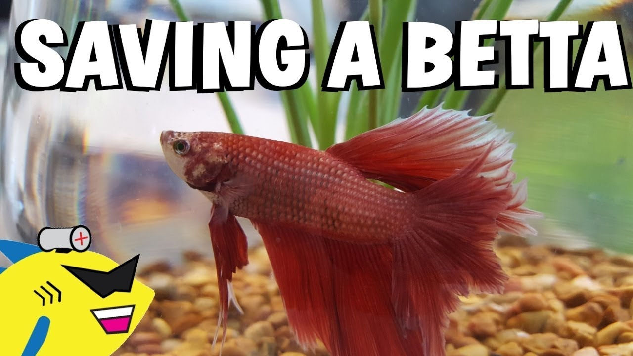 SAVING A BETTA FISH! - Proper Betta Tank Setup - YouTube