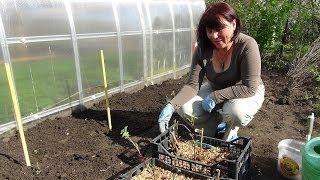 Посадка георгин. Planting dahlias.