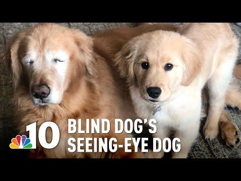 None - Good News: Blind Golden Retriever Gets Seeing Eye Puppy