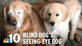 Blind Love: Golden Retriever Gets His Own 'Seeing-Eye' Puppy | NBC10 Philadelphia