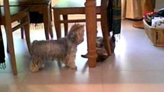 Yorkshire Terrier And Tabby Cat Playing