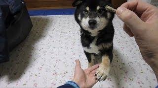 ???? ????????? Shiba Inu Kuro Hand Change?